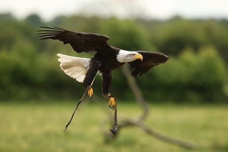 A Bald Eagle in flight Stock Photo - 9894249