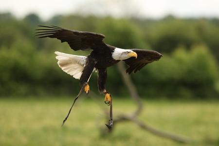 wingspan: A Bald Eagle in flight