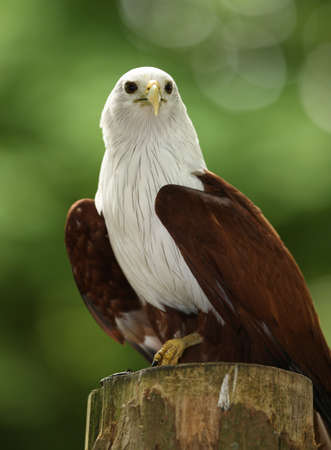 Portrait of a Fish Eagle Stock Photo - 9894250