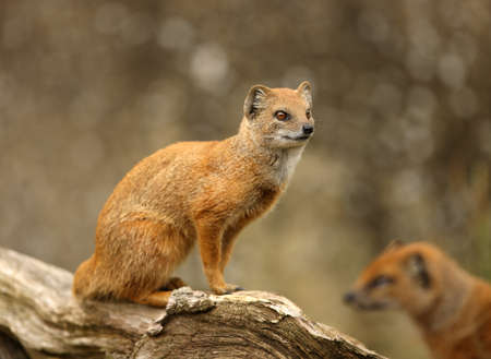 Portrait of a Yellow Mongoose Stock Photo - 9894253
