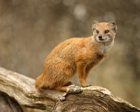 mangosta: Retrato de una mangosta amarillo Foto de archivo