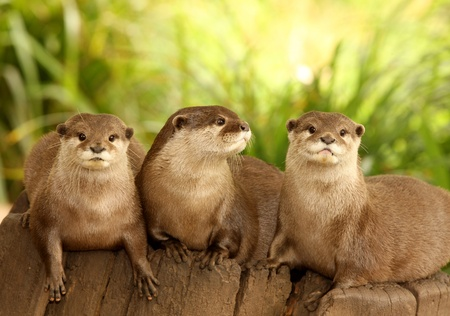 A group of European Otters