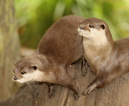 A pair of European Otters Stock Photo - 10025719