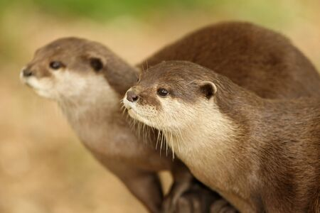 A pair of European Otters Stock Photo - 10025741