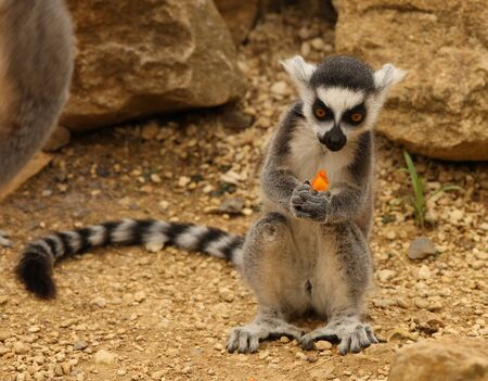 A young Ring Tailed Lemur eating a carrot