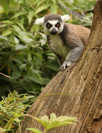 ring tailed: A Ring Tailed Lemur peeping behind a tree stump Stock Photo