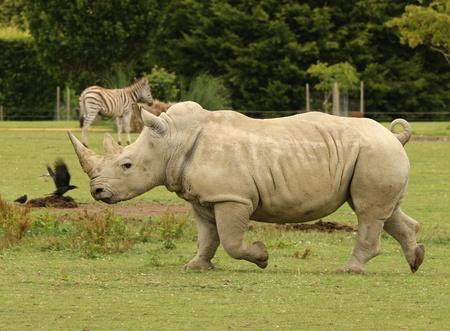 rhino: White Rhino charging