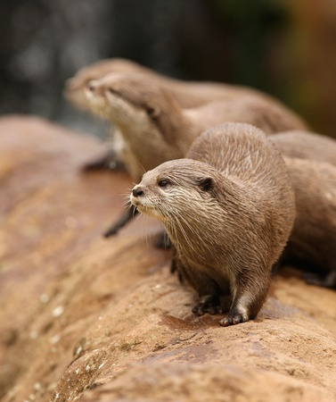 A group of Oriental Short-Clawed Otters  Stock Photo - 10849716