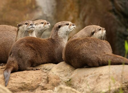A group of Oriental Short-Clawed Otters Stock Photo - 10849711