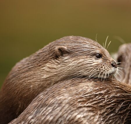 A pair of Oriental Short Clawed Otters cuddling Stock Photo - 10849713