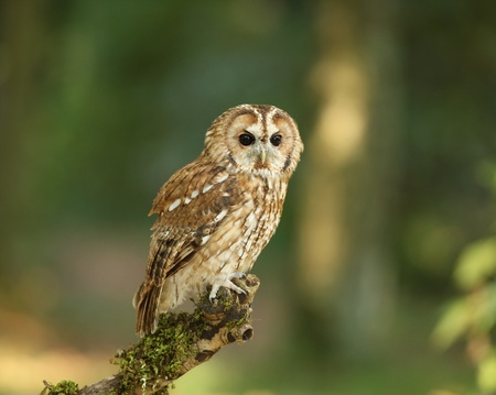 Portrait of a Tawny Owl in woodland