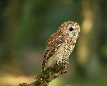 tawny: Portrait of a Tawny Owl in woodland