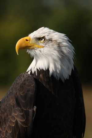 Portrait of a Bald Eagle Stock Photo