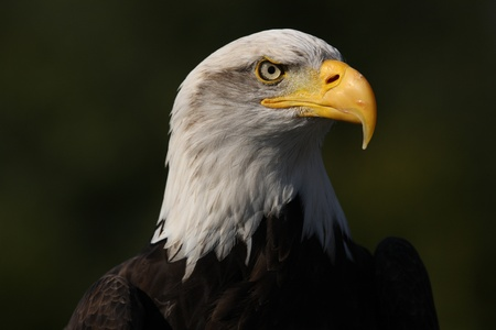 Portrait of a Bald Eagle Фото со стока