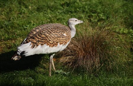 Portrait of a Great Bustard Stock Photo - 10849721