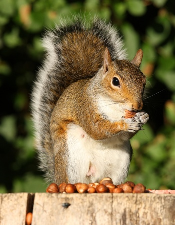 Portrait of a Grey Squirrel eating Hazelnuts in Autumn