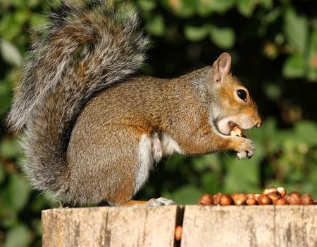 Ritratto di un Scoiattolo grigio mangiare nocciole in autunno