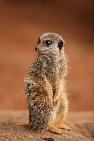 Portrait of a young Meerkat