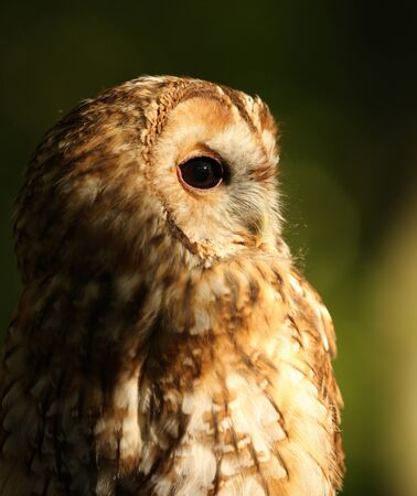 Portrait of a Tawny Owl photo