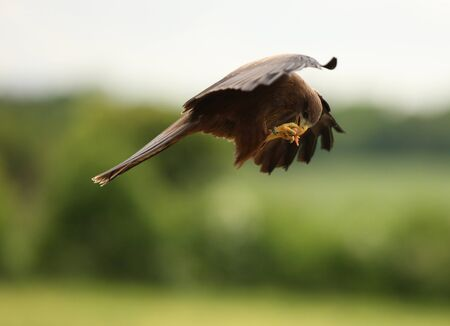A Black Kite catching food on the wing