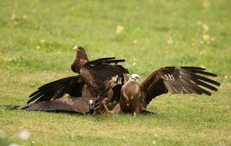 Black Kites fighting over food Stock Photo - 12419281