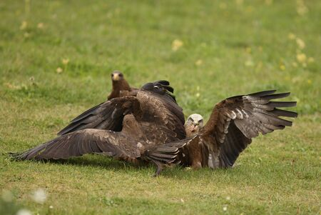 Black Kites fighting over food Stock Photo - 12419280
