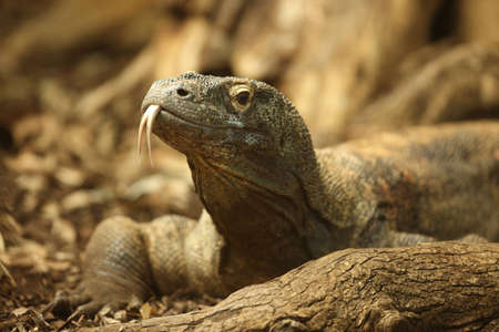 Portrait of a Komodo Dragon Stock Photo - 12584778