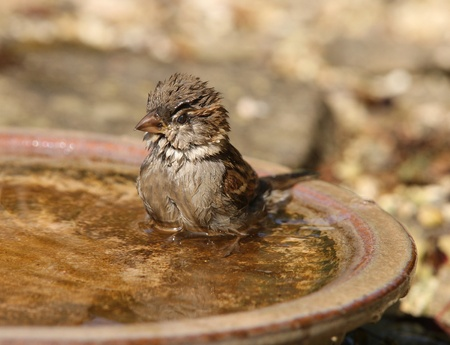 A House Sparrow taking a bath on a hot summer day Stock Photo - 12807680