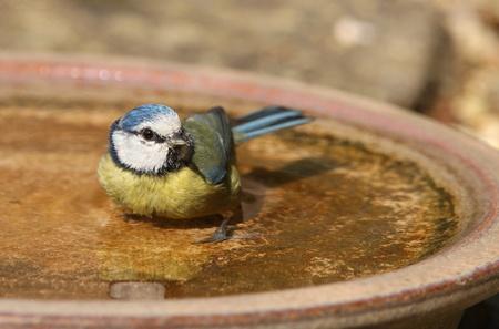 caeruleus: A Blue Tit taking a bath on a hot summer day Stock Photo