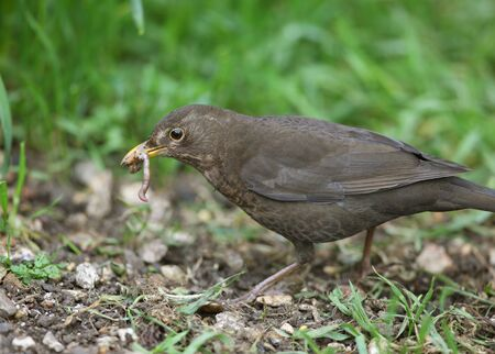 A female Blackbird collecting worms to feed her young Stock Photo