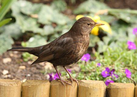 Portrait of a female Blackbird in spring photo