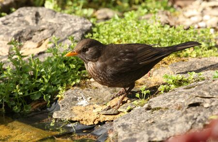 Close up of a female Blackbird searching for food for her young photo