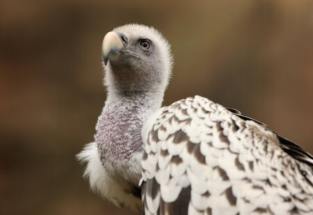 Portrait of a Griffon Vulture  Stock Photo - 14511843
