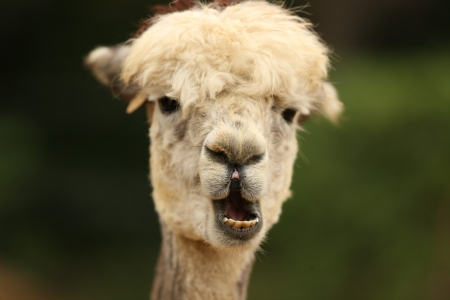 Portrait of an Alpaca photo