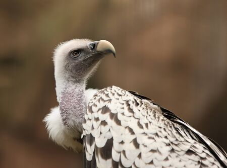 Portrait of a Griffon Vulture  photo