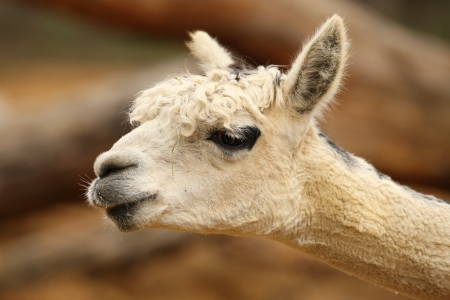 Portrait of an Alpaca Stock Photo - 14511851