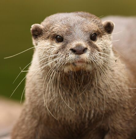 clawed: Portrait of a Oriental Short-Clawed Otter  Stock Photo