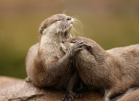 Oriental Short-Clawed Otters cuddling Stock Photo - 14511855