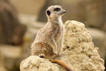 Close up of a male Meerkat standing guard in the rain Stock Photo - 14511853