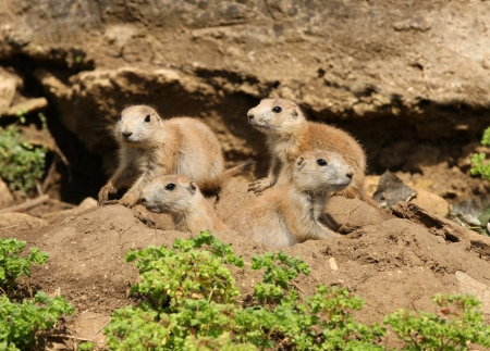 A famly of young Black-Tailed Prarie Dogs outside their den Stock Photo - 14511846