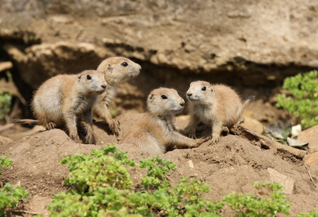 A famly of young Black-Tailed Prarie Dogs outside their den Stock Photo - 14511842