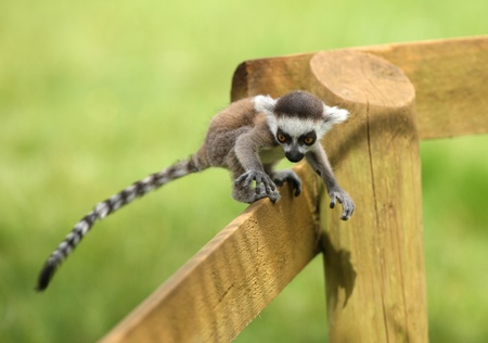 Close up of a baby Ring-Tailed Lemur learning to climb Stock Photo - 14511844