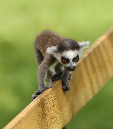 Close up of a baby Ring-Tailed Lemur learning to climb photo