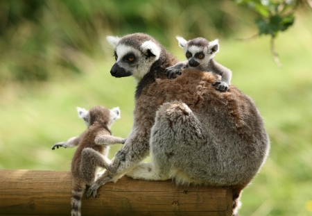 Close-up van een moeder Ring-tailed maki en haar baby's