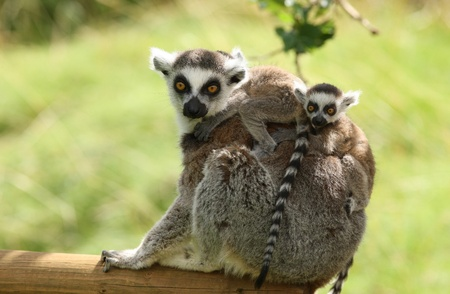 Close up of a mother Ring-Tailed Lemur and her babies Stock Photo - 14511857