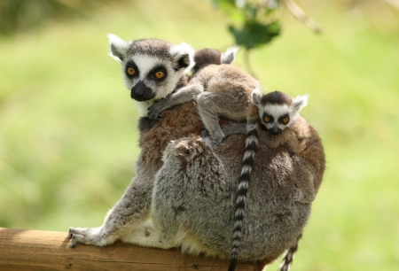Close up of a mother Ring-Tailed Lemur and her babies