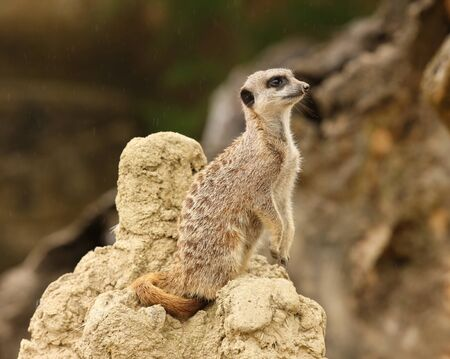 Close up of a male Meerkat standing guard in the rain Stock Photo - 14511850