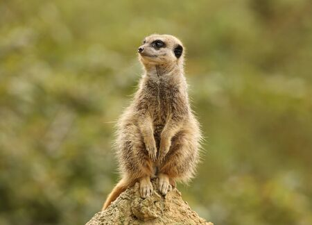 Close up of a male Meerkat standing guard in the rain Stock Photo - 14511848
