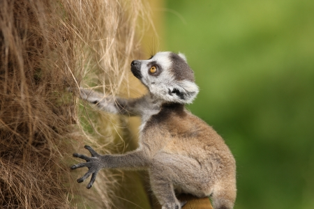 Close up of a baby Ring-Tailed Lemur learning to climb Stock Photo - 14511852