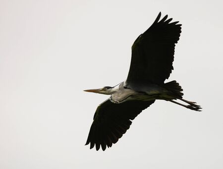 Close up of a Heron in flight Stock Photo - 14511821